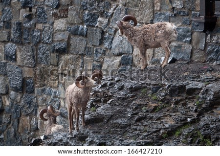 Herd of bighorn sheep standing near the mountain road - stock photo