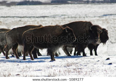 Herd of Bison On Snow Covered Field on Cloudy Winter Day