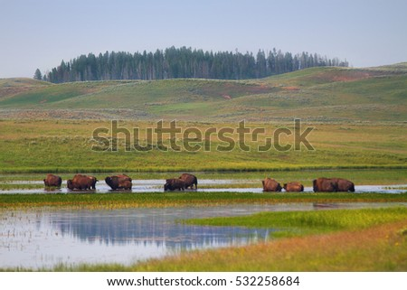 Herd of Bison Wandering in Wetlands of Yellowstone National Park