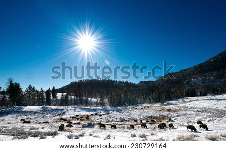Herd of bison with the sun shining down on them, Yellowstone National Park in winter - stock photo