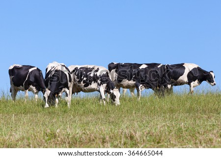 Herd of black and white Holstein dairy cows grazing contentedly on the skyline on a hilltop in an autumn pasture against a clear sunny blue sky - stock photo