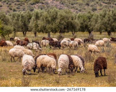 White sheep herd - photo#13