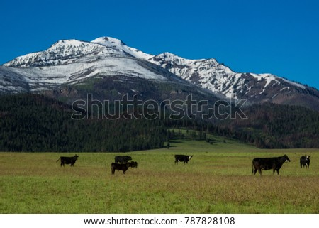 Herd of black angus cattle grazing spring grass near the strawberry mountains of Central Oregon