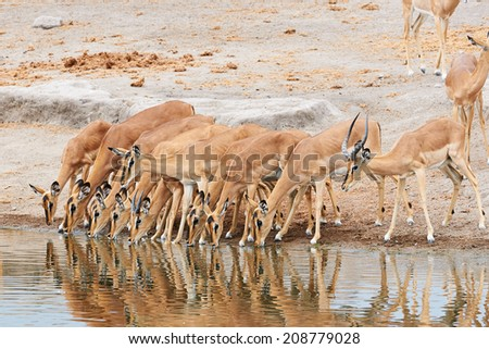 Herd of black-faced impala is drinking at a waterhole in Etosha National Park