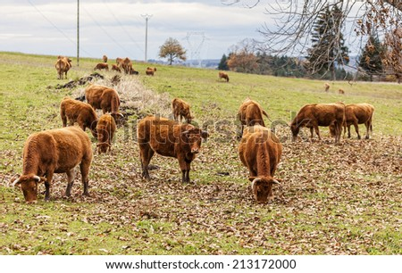 Herd of brown cattle grazing in a field in autumn.The breed is Salers, one of the oldest and most genetically pure of all European breeds.They are common in Auvergne region of France. - stock photo