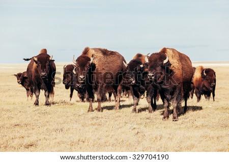 Herd of Buffalo on the Prairies  - stock photo