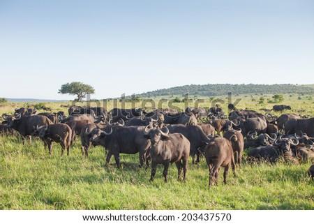 Herd of buffaloes in National Park Masai Mara, Kenya. - stock photo