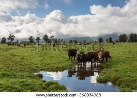 Herd of bulls at spring green pasture, New Zealand - stock photo