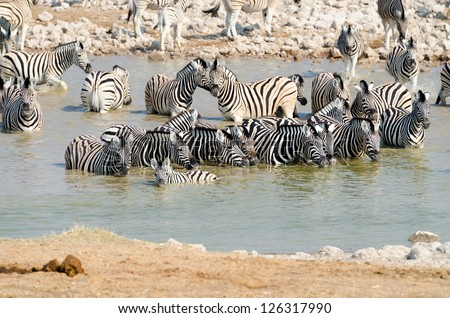 Herd of Burchell's zebras in a watering hole with a foal in the foreground - stock photo