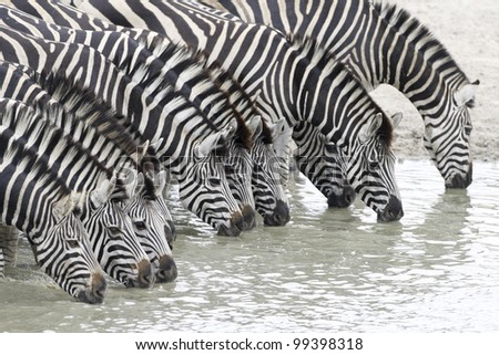 Herd of Burchells Zebra (Equus burchellii) drinking water in South Africa's Kruger Park - stock photo