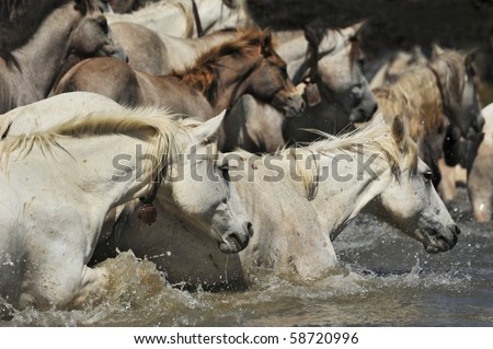 herd of Camargue horses and foal in the water - stock photo