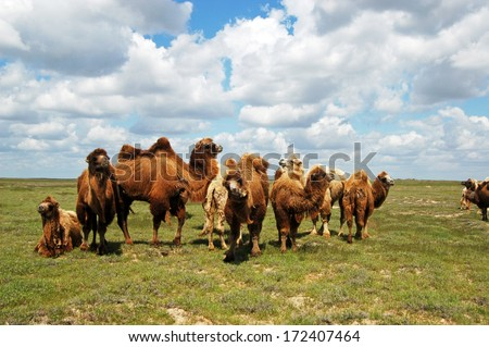 Herd of camels at steppe