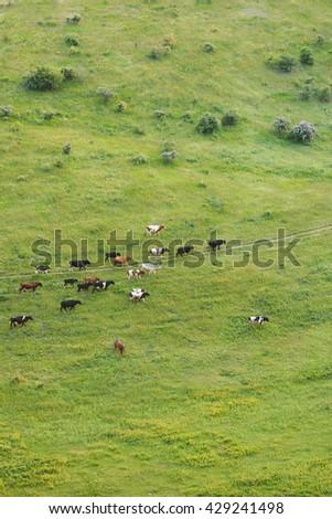herd of cattle crossing green field - stock photo