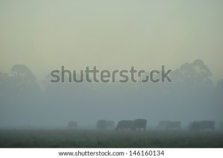 herd of cattle in fog with forest behind  - stock photo