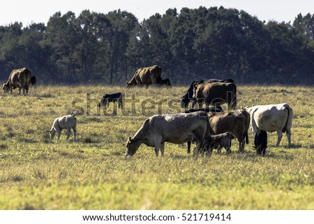 Herd of commercial cows and calves in a brown, dormant pasture
