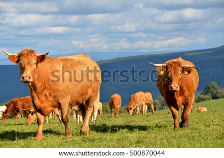 herd of cow