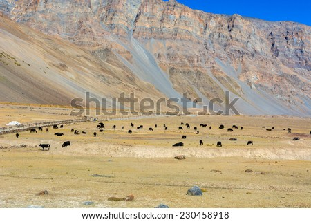 herd of cows and Yak in a vast field in Spiti valley, Himachal Pradesh India
