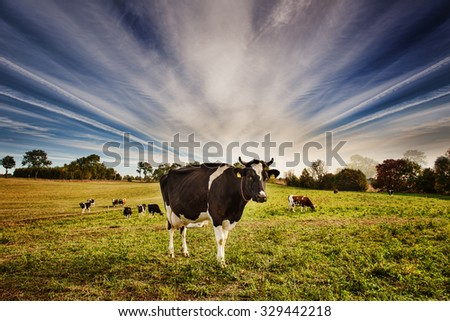 Herd of cows at a field in the summer. Horizontal image with copy space. Photo taken in the masurian lake district, northern Poland. - stock photo
