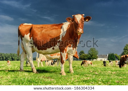 Herd of cows at green field - stock photo