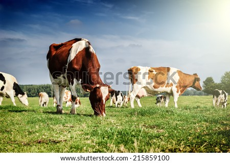 Herd of cows at summer green field - stock photo