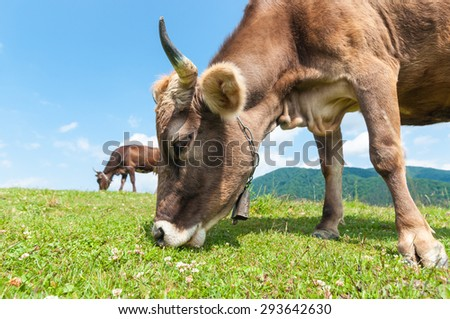 Herd of cows at summer green field. Grazing cow and field of fresh grass. Farm background - stock photo