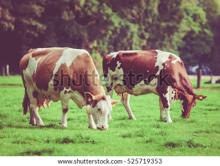 Herd of cows at summer green field. Vintage style