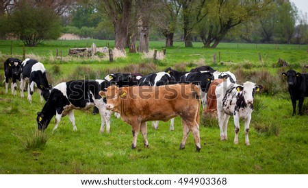 Herd of cows. Cows on a green field. Cows on the field