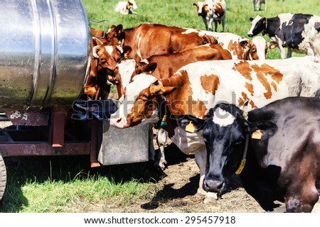 Herd of cows drinking water. Agricultural concept - stock photo