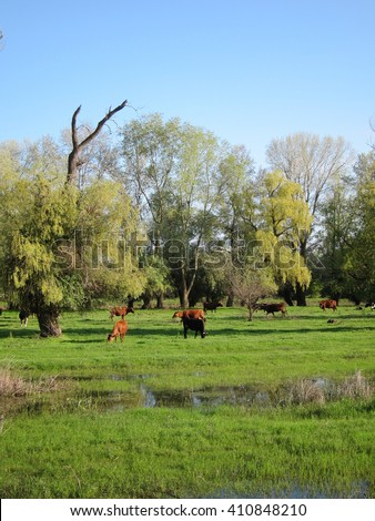 Herd of cows grazing in a pasture flooded high spring waters on the Danube river - stock photo