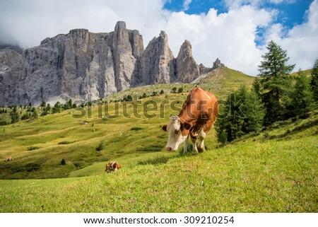 Herd of cows grazing in Alps  - stock photo
