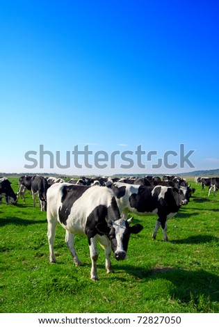 Herd of cows grazing in meadow - stock photo