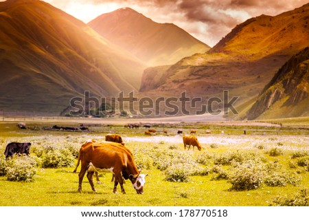 herd of cows grazing on a background of mountain scenery at sunset - stock photo