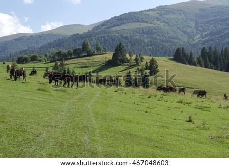 herd of cows grazing on a beautiful meadow of the Ukrainian Carpathians