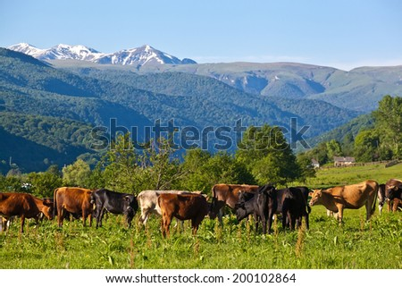 herd of cows grazing on a mountain pasture - stock photo