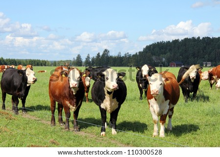 Herd of cows grazing on green farmland at summer. - stock photo
