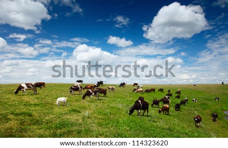 Herd of cows grazing on green summer meadow - stock photo