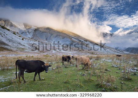 Herd of cows in a pasture in the mountains. Autumn landscape with the first snow. Mountain Shkhara in the clouds. Main Caucasian ridge. Zemo Svaneti, Georgia  - stock photo