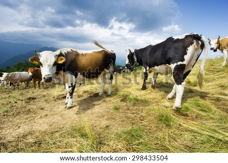 Herd of cows in mountain field - stock photo