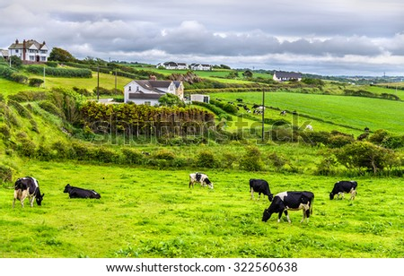 Herd of cows in pasture in County Antrim of Northern Ireland - stock photo