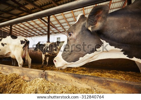 Herd of cows in the cowshed - Czech Republic - stock photo