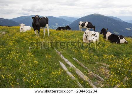Herd Of Cows On Top Of Alp Millstatt Amongst A Field Of Yellow Flowers - stock photo