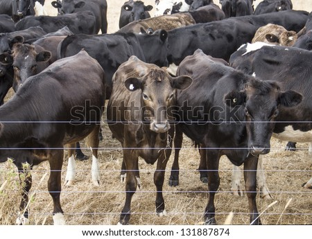 herd of cows over the fence - stock photo
