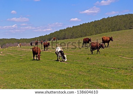 Herd of cows pastures  in a Crimean steppe - stock photo
