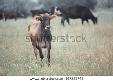 Herd of cows pasturing outdoors. Horizontal color photo - stock photo