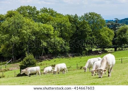 herd of cows, Rhone-Alpes, France