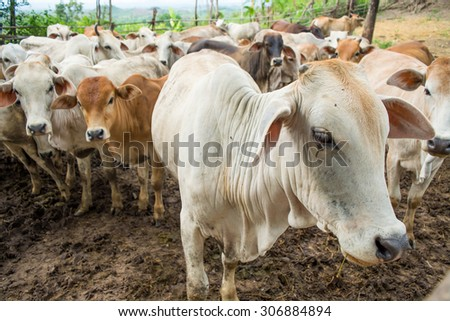 Herd of Cows standing in cowshed on the evening