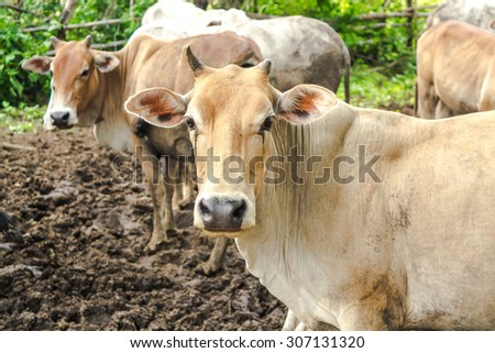 Herd of Cows standing in cowshed on the evening     - stock photo