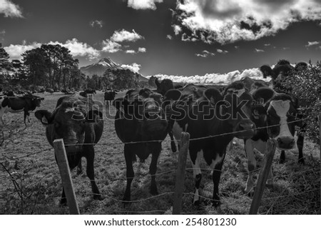 Herd of cows with Mount Taranaki in the background - stock photo