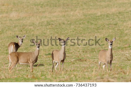 Herd of curious whitetail does