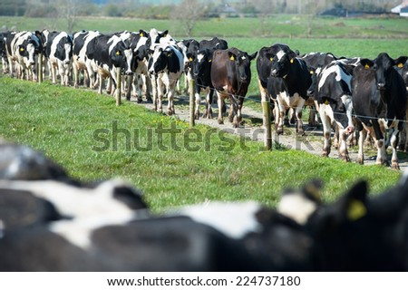 herd of dairy cows walking on farm path  - stock photo